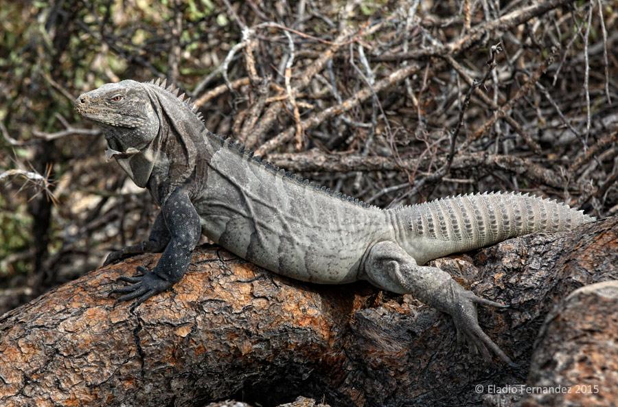 Island Conservation ricords iguana cabritos island dominican republic credit to Eladio Fernandez