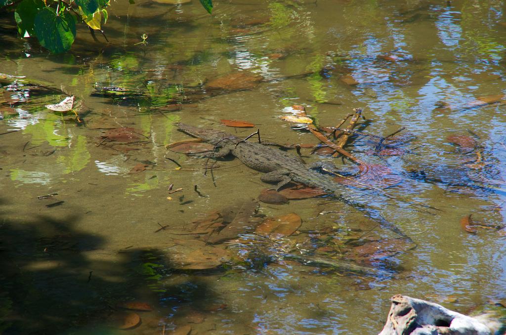 Island Conservation science cabritos island dominican republic american crocodile