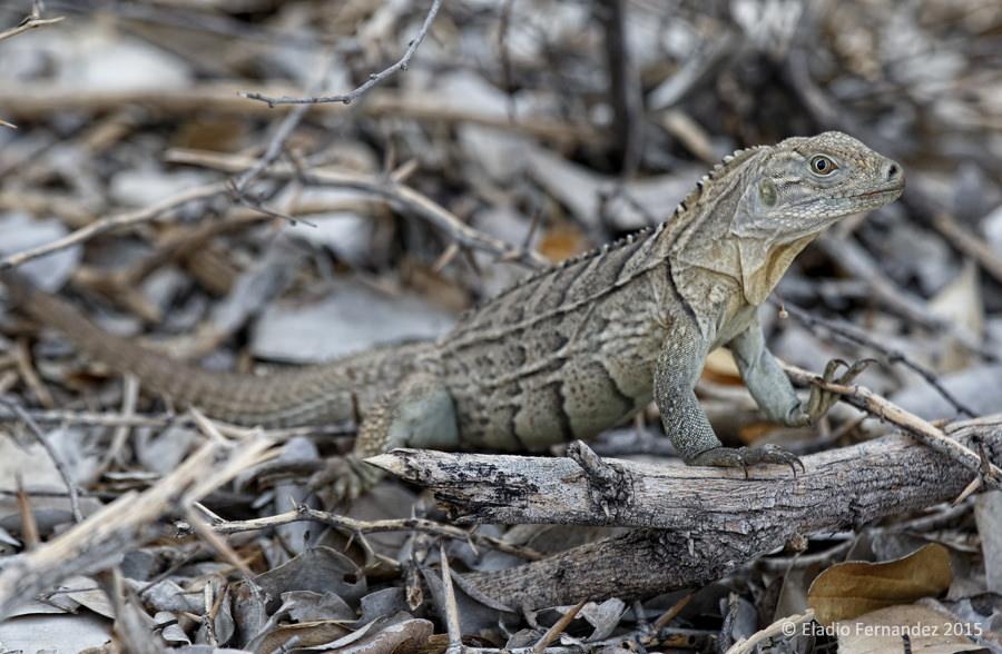 Eladio-fernandez-island-conservation-photographer-riccords-iguana-cabritos-island