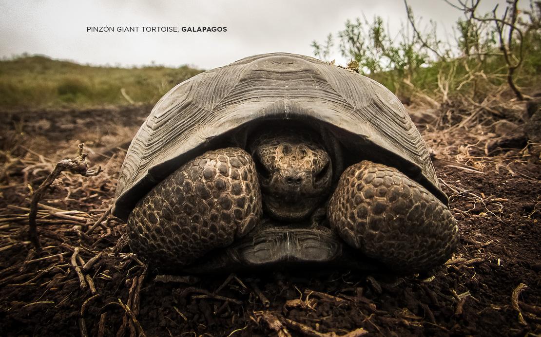 island conservation science pinzon giant tortoise hatchling galapagos ecuador americas