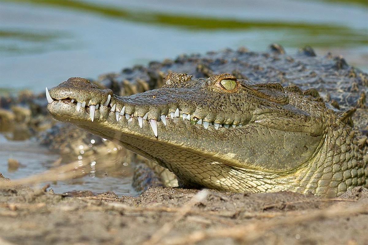 island conservation science american crocodile cabritos island dominican republic