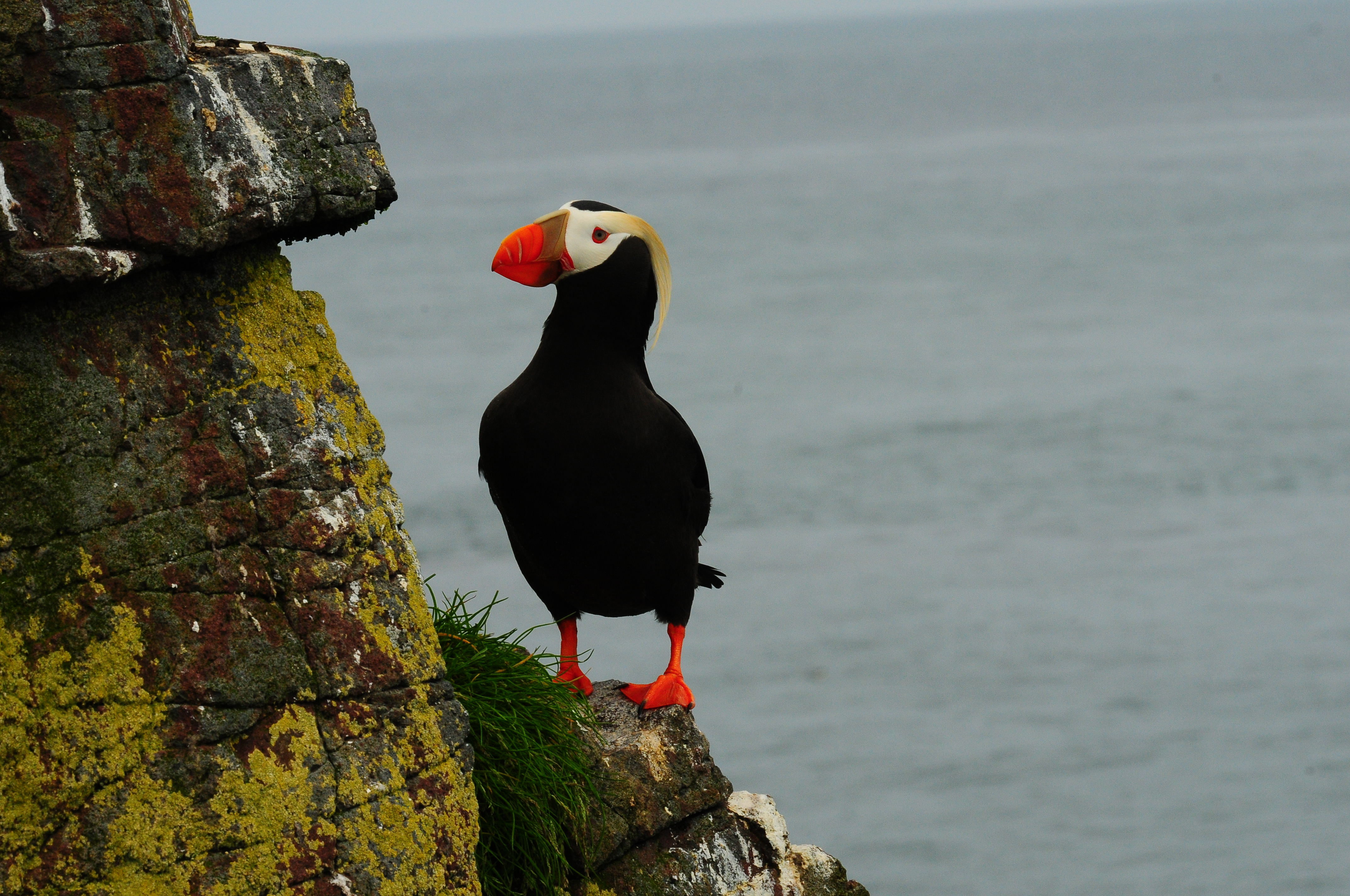 Marc Romano USFWS Tufted Puffin