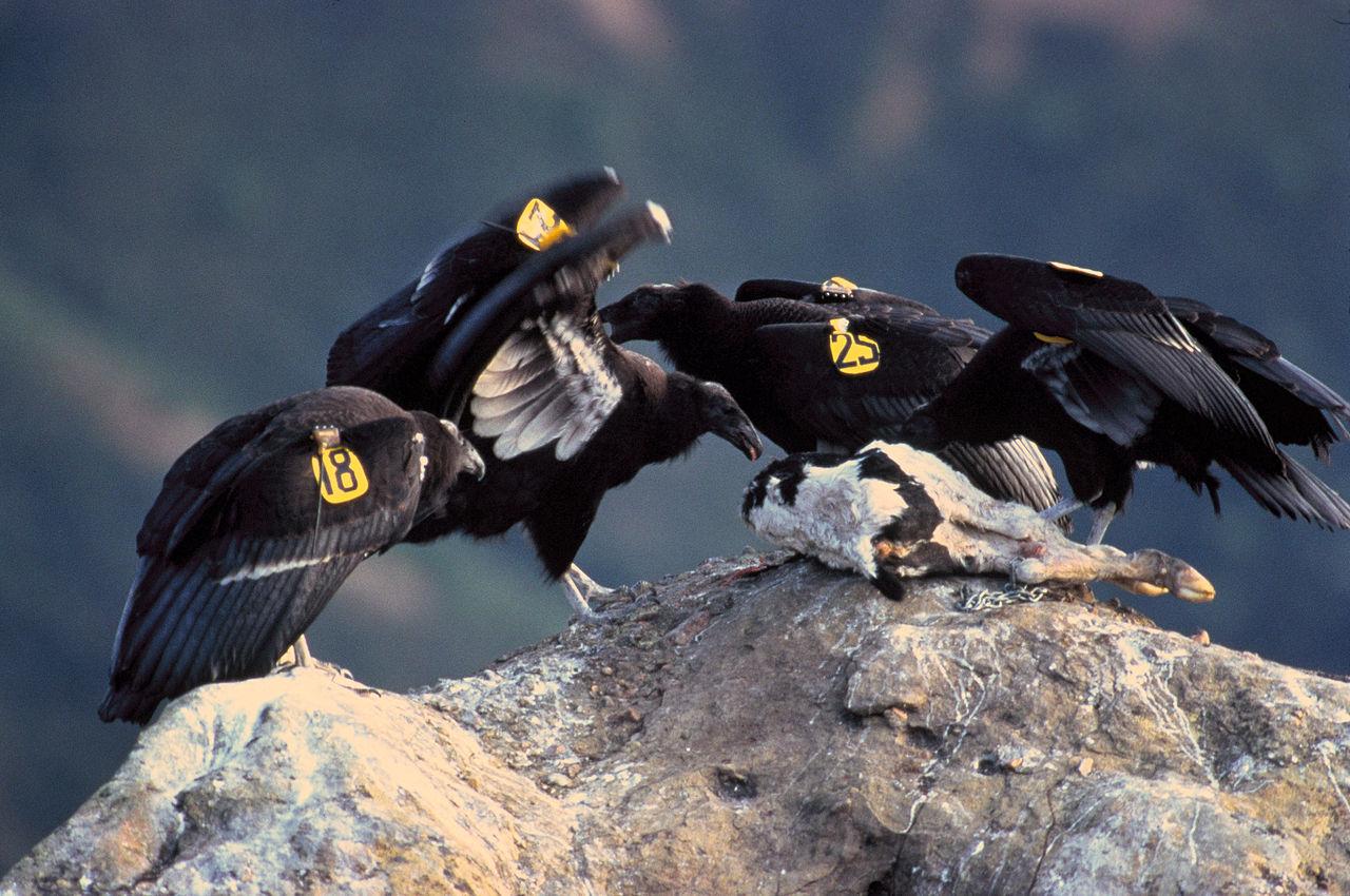 1280px-California-Condor
