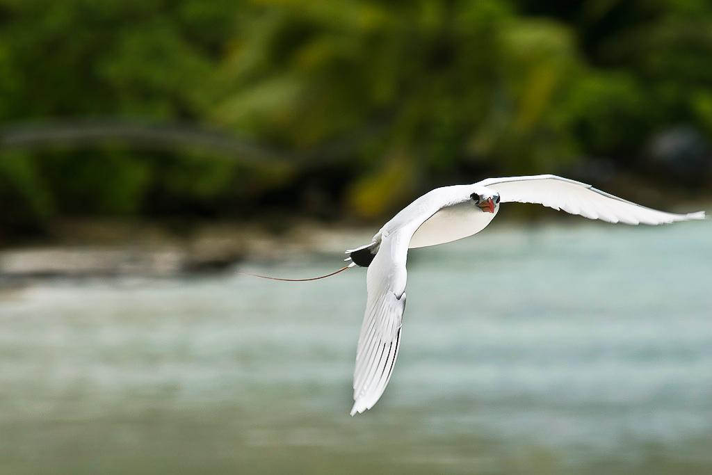 Red-Tailed Tropicbird, Phaethon rubricauda, Palmyra Atoll NWR, Line Islands, Pacific Ocean