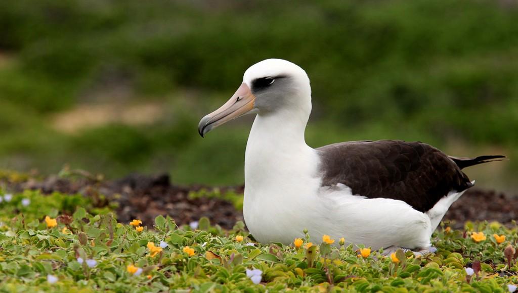 Island conservation science hawaii albatross eggs - Invasive Species
