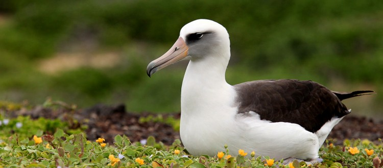 Island conservation science hawaii albatross eggs