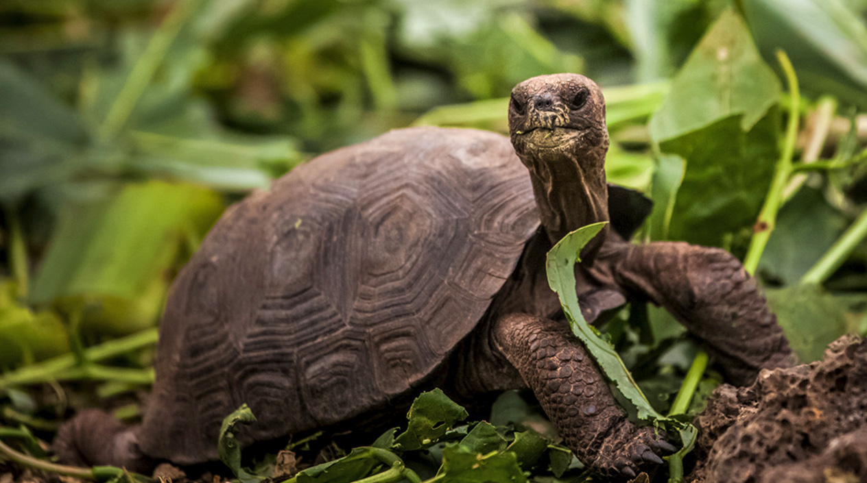 Pinzón Giant Tortoises are hatching and thriving in the wild in the wild for the first time in 150 years thanks to the eradication of invasive rats from their Island home. Photo: Rory Stansbury/Island Conservation