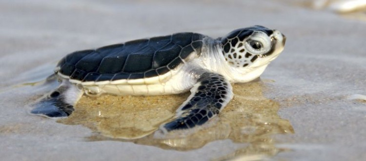island-conservation-preventing-extinctions-green-sea-turtle-hathcling