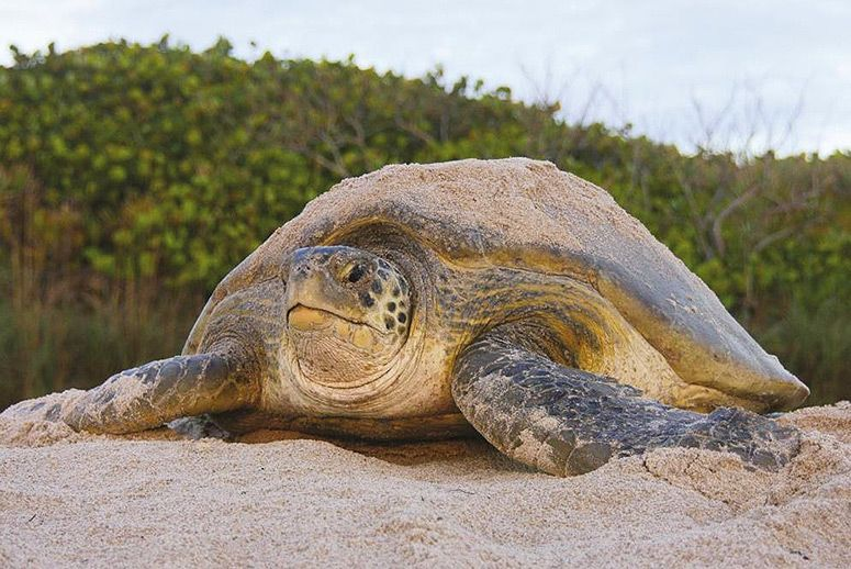 island conservation endangered green sea turtles return to