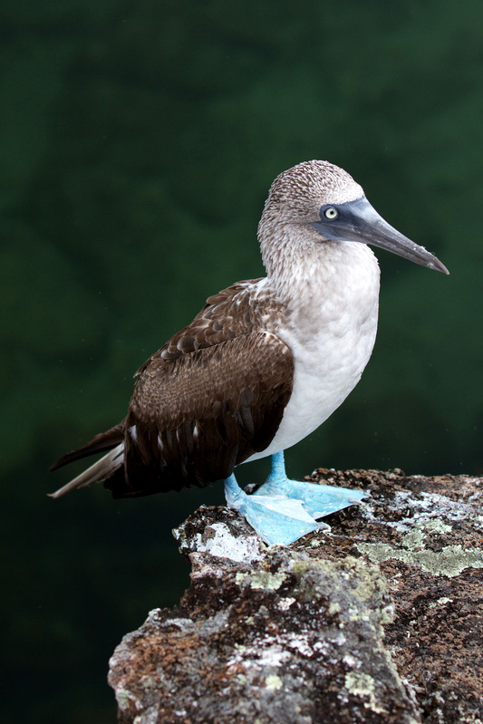 island-conservation-science-blue-footed-booby-galapagos
