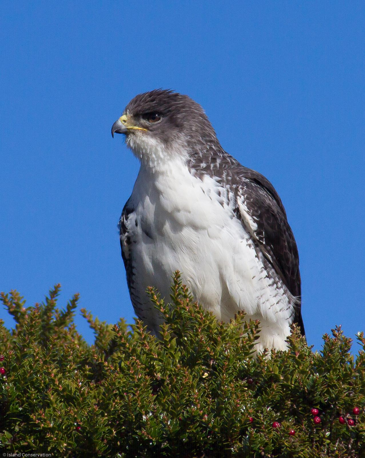 Masafuera Hawk. Photo: Madeleine Pott/Island Conservation