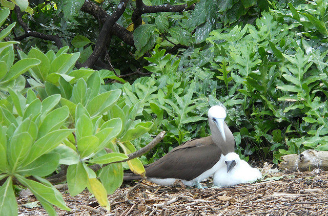 Island Conservation Science booby on palmyra
