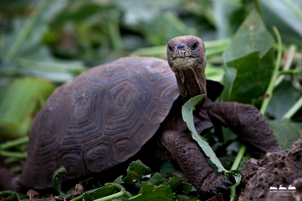 Island conservation science galapagos pinzon giant tortoise hatchling photographer rory stansbury