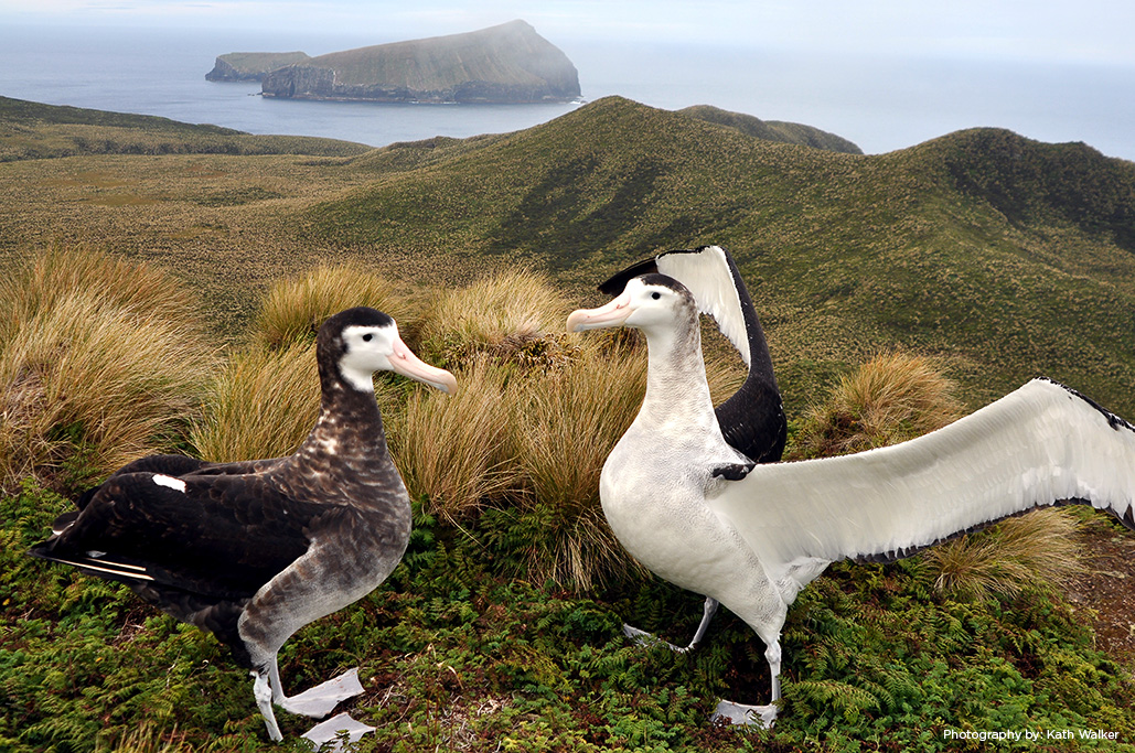 Island watch conservation science albatross antipodes islands