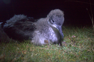 Island Conservation Science Manx Chick by Nick Tomalin