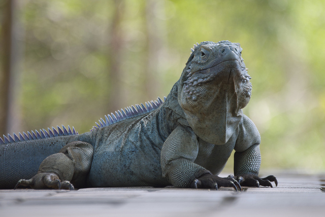 Island Conservation Conservationists Boost Blue Iguana Population