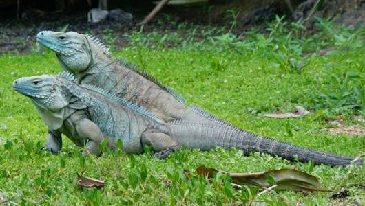 Island Conservation Science Blue Iguanas