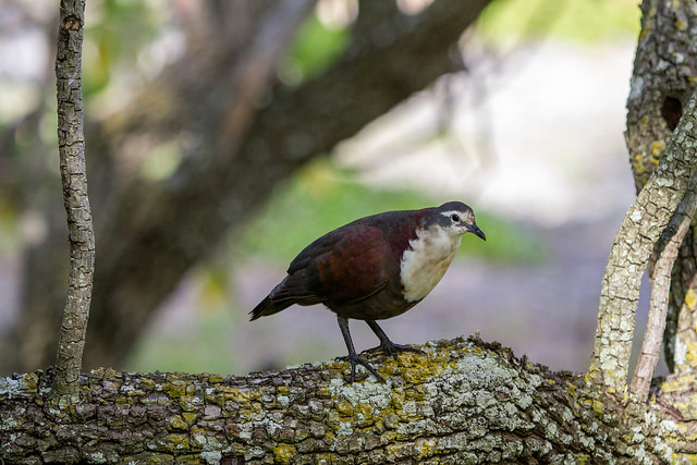 Island Conservation Science Rare Bird