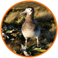 Antipodes-top-image-albatross