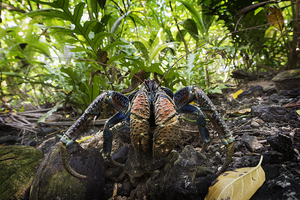 Island-Conservation-Science-Coconut-Crab - Palmyra Atoll Dateline-Photo-Andrew-Wright