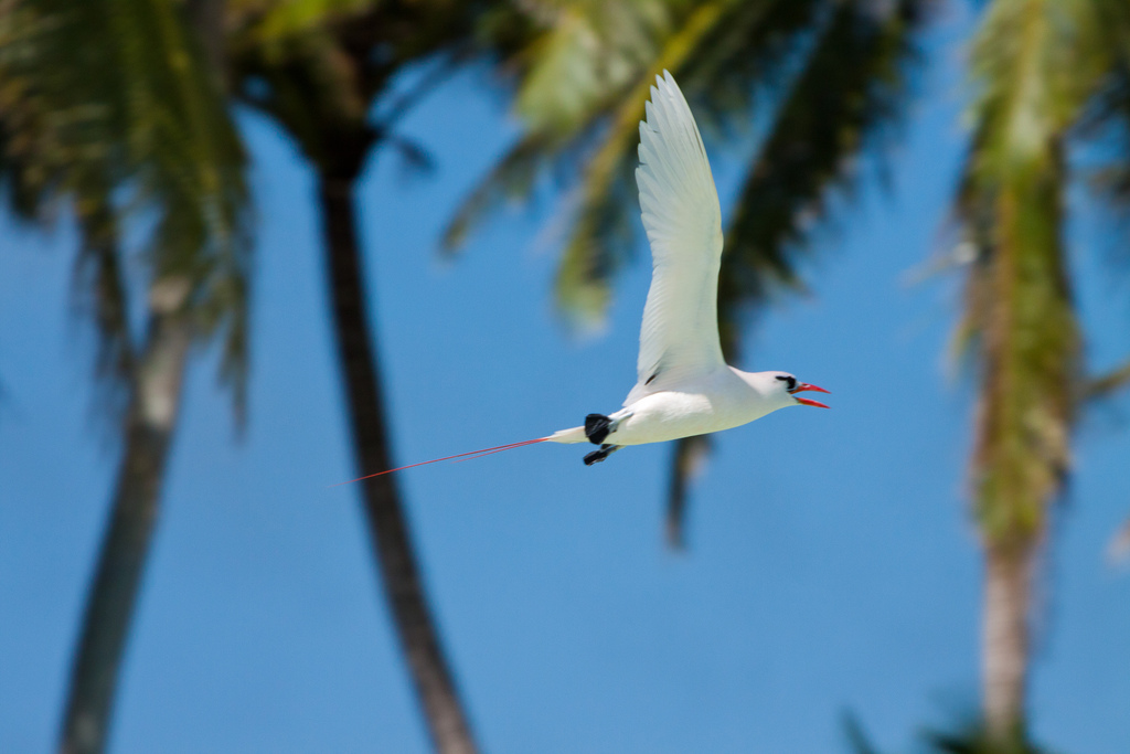 Island-Conservation-Science-Red-tailed-Tropicbird Palmyra Atoll -Dateline-NBC