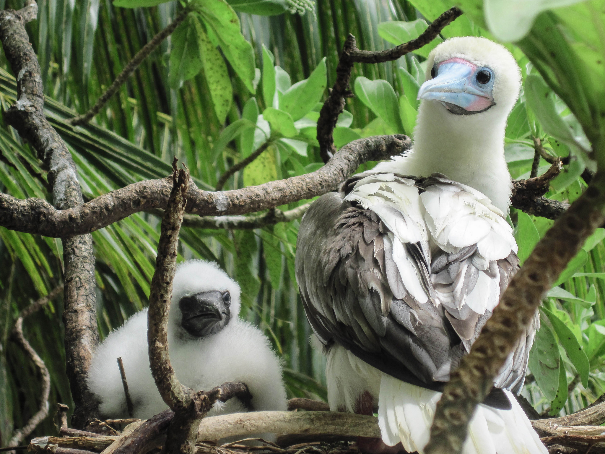 Island-Conservation-Science-Red-footed-Booby - Palmyra Atoll Dateline-NBC
