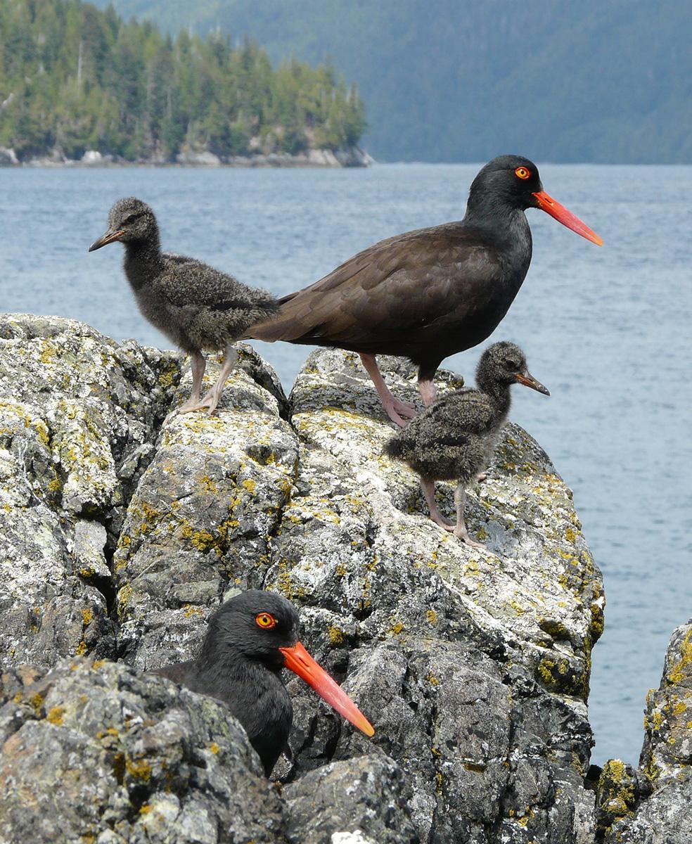 island-conservation-gwaii-haanas-canada-oystercatcher