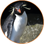 Island conservation science antipodes island penguin