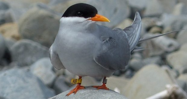 Island Conservation Science Tern