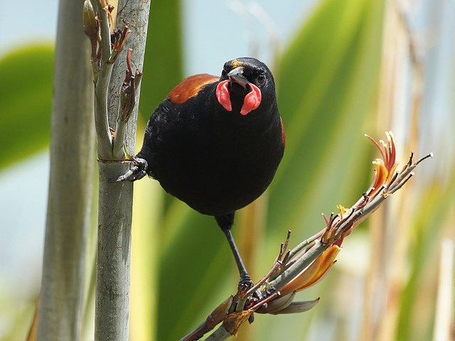 Island Conservation Science Saddleback Tiritiri Matanga