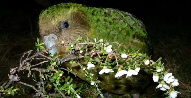 island conservation night parrot