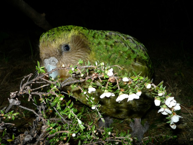 island conservation night parrot