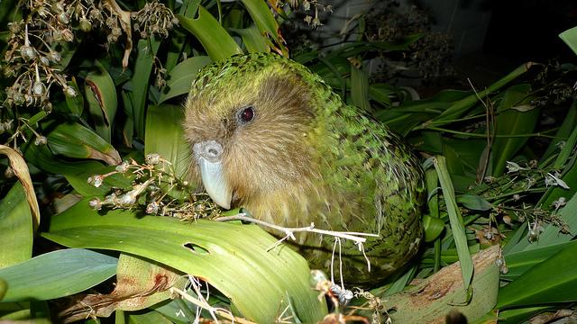 Island Conservation Science Kakapo closeup