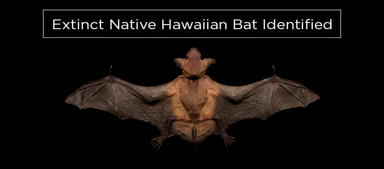 island conservation science hawaii bat