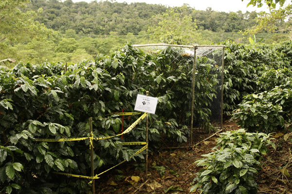 Island Conservation Science Coffee Pest Research by Stanford