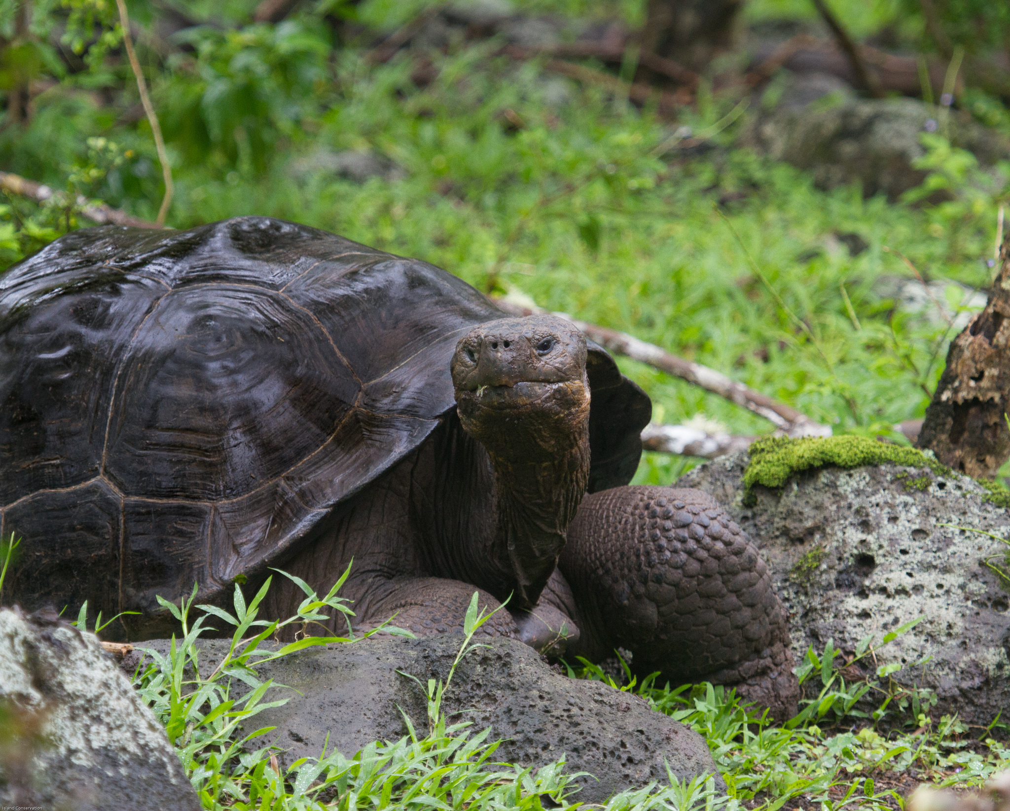 Island Conservation Floreana Tortoise