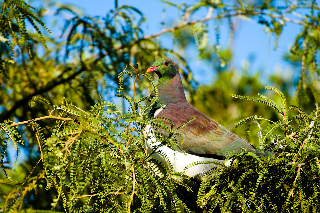 Island Conservation NZ Endemic Pigeon
