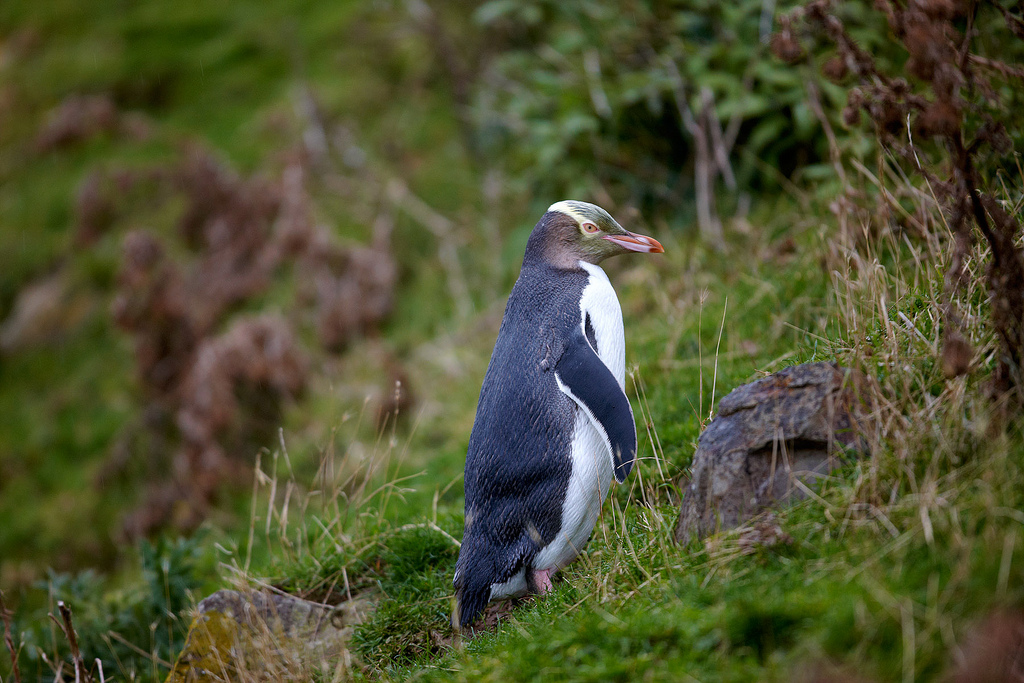 Island Conservation yellow-eyed penguin