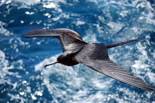 Island Conservation Science Frigatebird