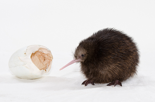 Island Conservation Science Kiwi Chick