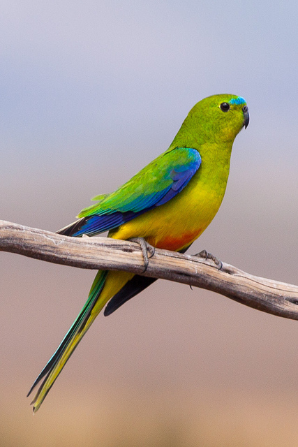 Island Conservation Science Orange-Bellied Parrot