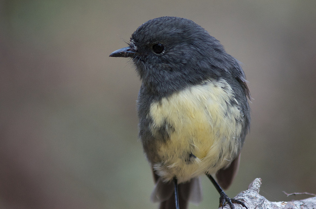 Island Conservation science south island robin