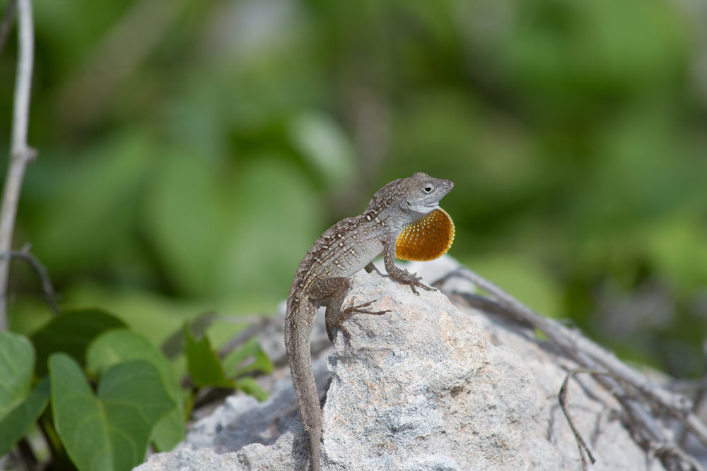 Island Conservation Science Brown Anole