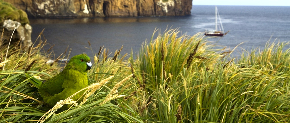 antipodes parakeet james russell island conservation antipodes island million dollar mouse