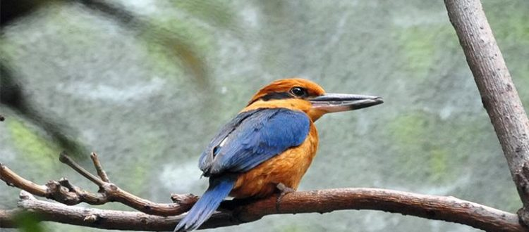 island conservation guam kingfisher