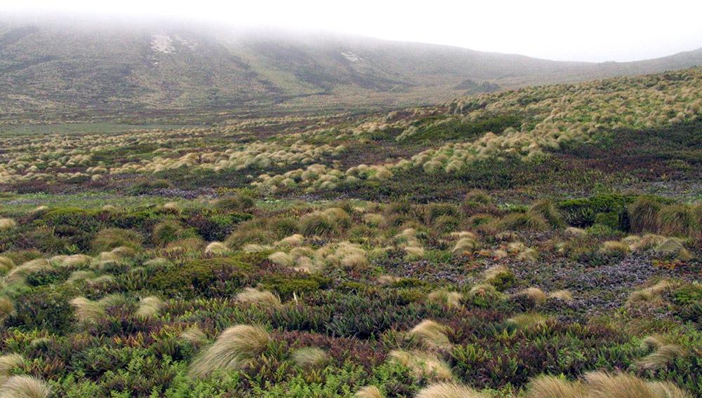 Island Conservation million dollar mouse, antipodes islands jose luis herrera new zealand grass
