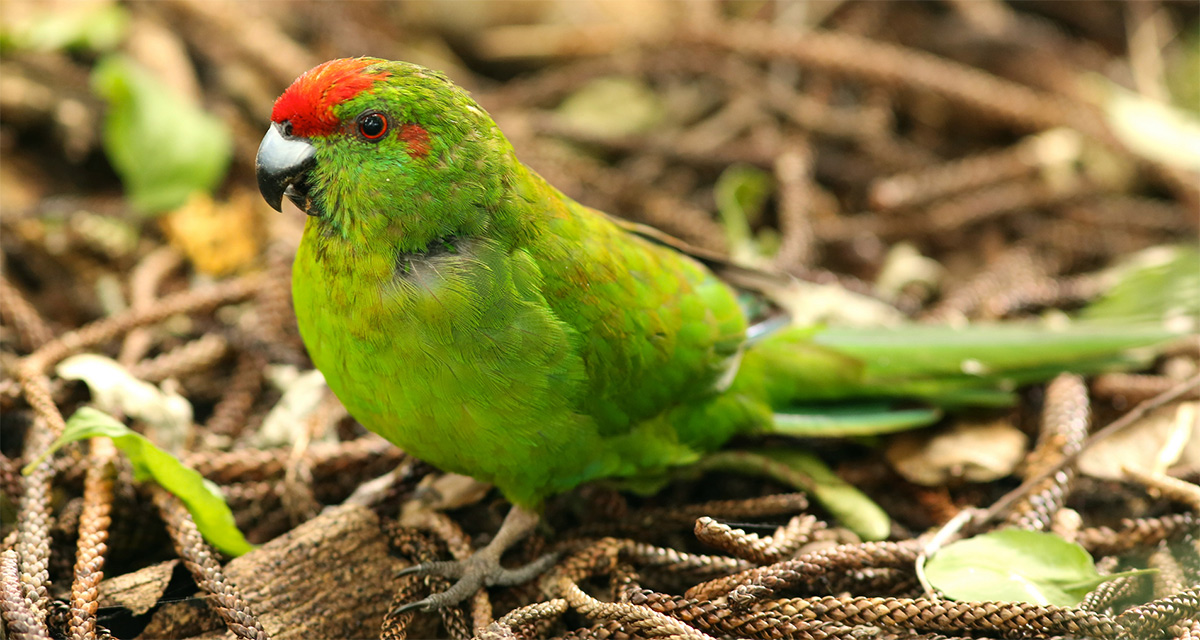The vulnerable Antipodes parakeet (Cyanoramphus unicolor)
