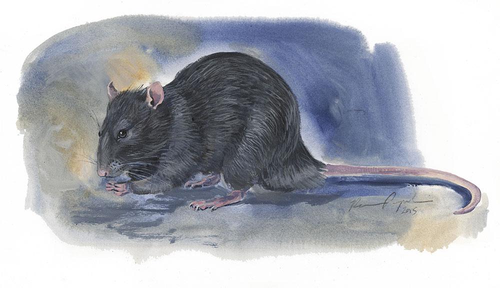 island conservation invasive species black rat