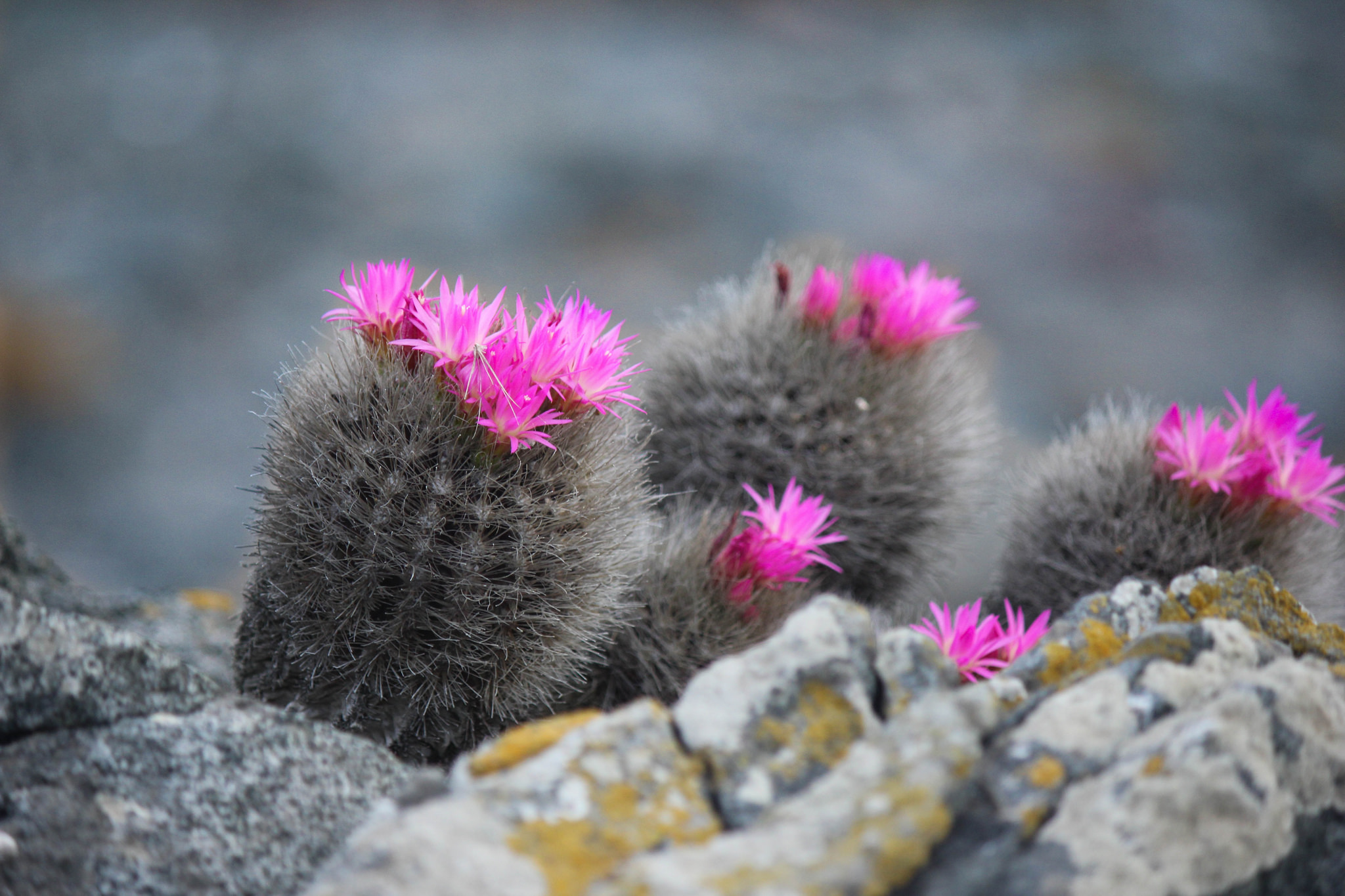 Island Conservation Cactus on Choros
