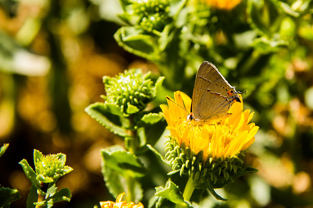Island Conservation Butterfly on Anacapa Island